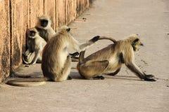 Scimmie in molti atteggiamenti Fotografia Stock Libera da Diritti