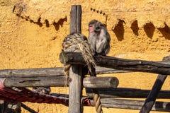 Scimmie nel giardino zoologico fotografie stock libere da diritti
