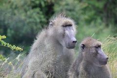 Scimmie nel parco di Kruger Fotografia Stock