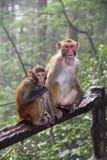Scimmie nel parco nazionale di Zhangjiajie nella pioggia La Cina Immagine Stock
