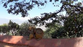 Scimmie nel tempio della scimmia stock footage
