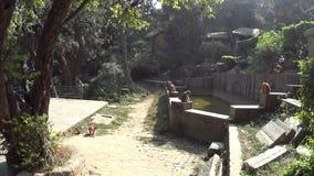 Scimmie nel tempio della scimmia archivi video