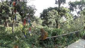 Scimmie nel tempio della scimmia video d archivio