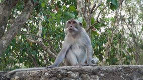 Scimmie nella foresta in Bali immagine stock