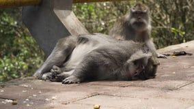 Scimmie nella foresta in Bali Immagini Stock