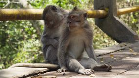 Scimmie nella foresta in Bali fotografia stock