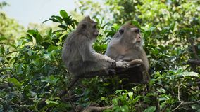 Scimmie nella foresta in Bali Fotografie Stock