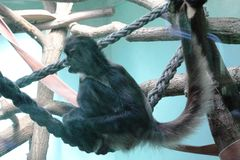 Scimmie nello ZOO a Poznan, Polonia Fotografie Stock