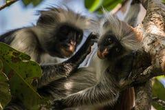 Scimmie rosse di colubus Fotografie Stock Libere da Diritti