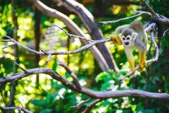 Scimmie scoiattolo Immagini Stock