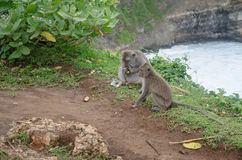 Scimmie selvagge Immagini Stock