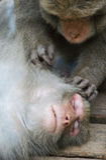 Scimmie in Shoushan, montagna della scimmia nella città di Kaohsiung Immagini Stock