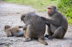 Scimmie in Shoushan, montagna della scimmia nella città di Kaohsiung Fotografie Stock Libere da Diritti