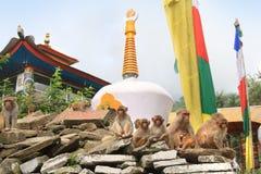 Scimmie sulla parete del tempio nella città di Rewalsar, India fotografia stock libera da diritti
