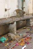 Scimmie sulla via in India Fotografie Stock