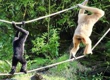 Scimmie sulle corde fotografie stock