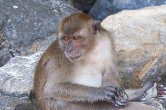 Scimmie sulle spiagge della Tailandia Immagini Stock