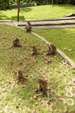 Scimmie in Ubud Bali Fotografia Stock