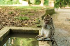 Scimmie in Ubud Bali Fotografia Stock Libera da Diritti