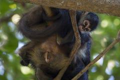 Scimmie in un albero Fotografia Stock Libera da Diritti