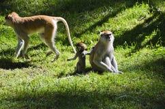 Scimmie, zoo di Olomouc Fotografia Stock Libera da Diritti