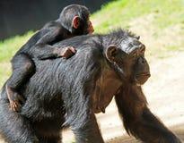 scimpanzè Immagini Stock Libere da Diritti