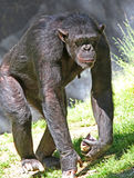 scimpanzè Immagini Stock