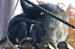 scimpanzè Fotografie Stock
