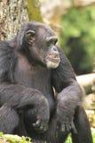 Scimpanzè annoiato Immagini Stock Libere da Diritti