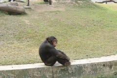 Scimpanzè che si siede sulla parete fotografia stock