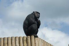 Scimpanzè comune - troglodite della pentola - guardare Fotografie Stock