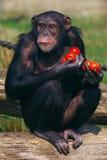 Scimpanzè con i pomodori Immagini Stock