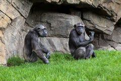 Scimpanzè due Fotografie Stock Libere da Diritti