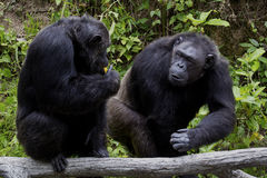 Scimpanzè due Fotografia Stock Libera da Diritti