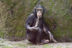Scimpanzè facendo uso dello strumento Fotografia Stock Libera da Diritti