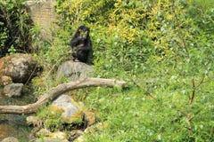 Scimpanzè pigmeo Fotografia Stock