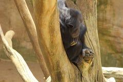 Scimpanzè sull'albero Immagini Stock Libere da Diritti