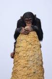 Scimpanzè sull'allerta Immagini Stock Libere da Diritti