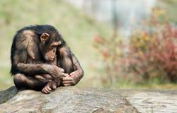 Scimpanzè sveglio Fotografie Stock