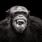 Scimpanzè XVII Immagini Stock