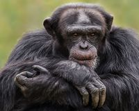 Scimpanzè XXX Fotografia Stock
