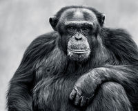 Scimpanzè XXXI Fotografie Stock