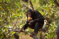 Scimpanzé fotografie stock libere da diritti