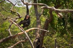 Scimpanzé Immagine Stock