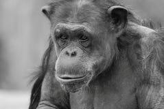 Scimpanzé di rosa di Momma Fotografie Stock