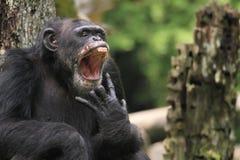 Scimpanzé di sbadiglio Fotografia Stock