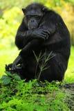Scimpanzé faticoso Fotografia Stock Libera da Diritti