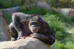 Scimpanzé su una roccia Fotografia Stock Libera da Diritti