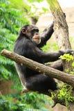 scimpanzé sull'albero Fotografie Stock