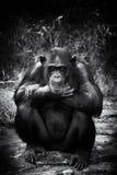 Scimpanzé triste Immagini Stock